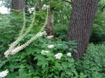 Actaea racemosa, Hydrangia quercifolia, Astercordifolius
