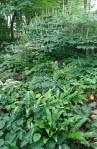 Aesculus parviflora, Aspleniumscolopendrium