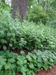 Aster cordifolius, Tiarellacordifolia