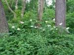 Hydrangea quercifolia, Astercordifolius