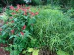 Spigelia marilandica, Carex muskingumensisOehme