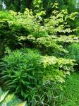 Vernonia noveboracensis, Cornus alternifolia 'GoldenShadows'