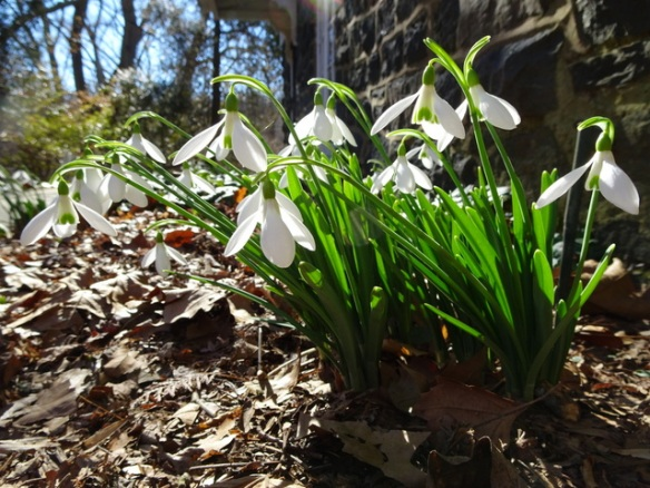Snowdrops For Sale U S Carolyn S Shade Gardens
