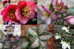 2020 Hellebore Collage Frostkiss