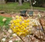 Edgworthia chrysantha-001