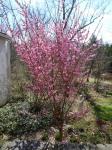 Prunus mume PeggyClarke-002