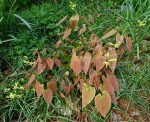 Epimedium lishihchenii