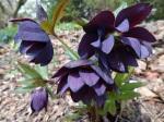 Helleborus Dark andHandsome-001