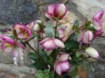 Helleborus Glenda's Gloss-001