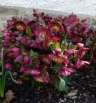Helleborus Ice N Roses RedClark