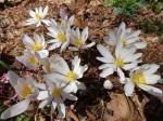 Sanguinaria canadensis Tennesseeform-001