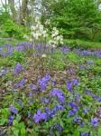 Fothergilla Blue Shadows, Phlox SherwoodPurple