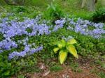 Phlox stolonifera BlueRidge