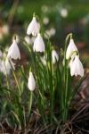 Galanthus poculiformis Avon