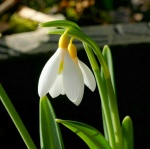 Galanthus Sarah DumontWormald-001