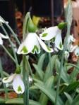 Galanthus Trympostor