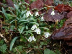 Galanthus 'Trymposter'